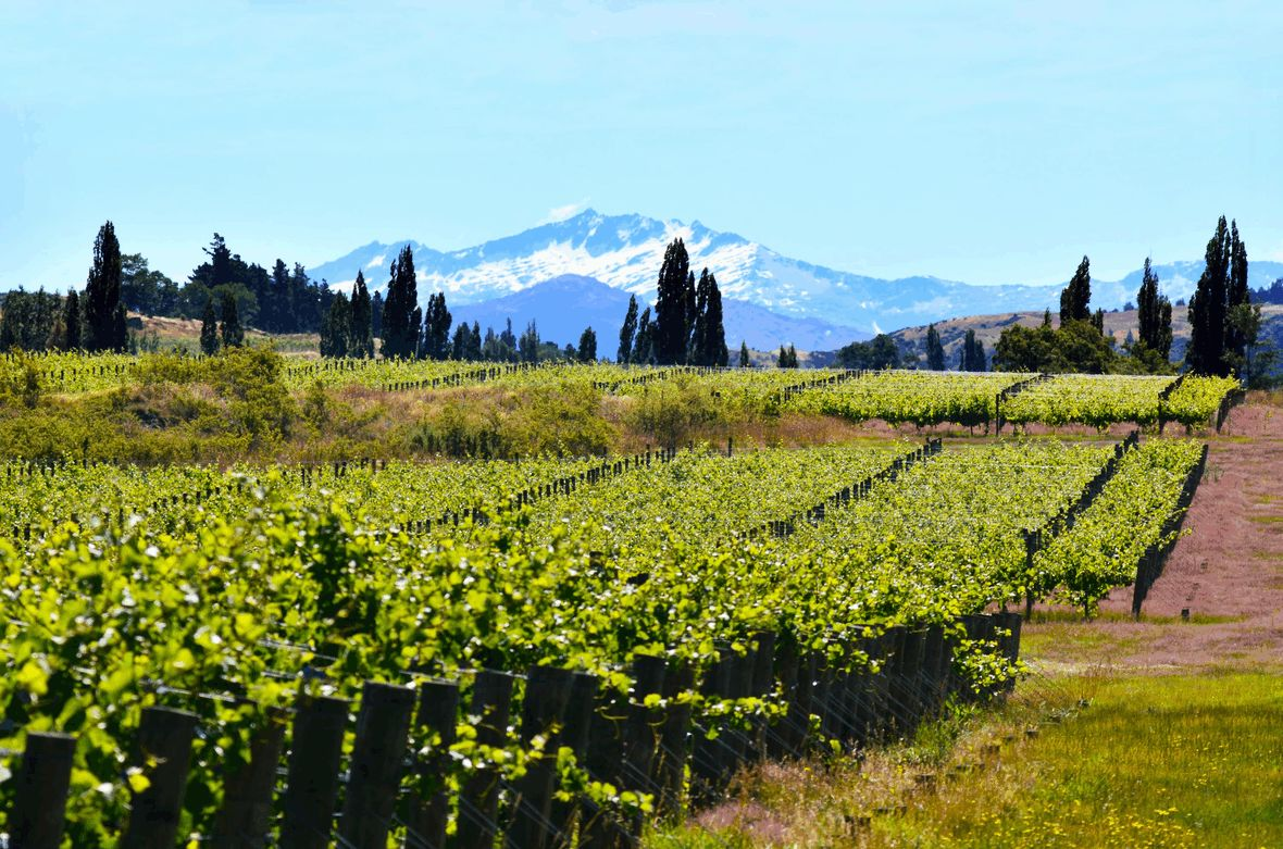 Vineyards with mountains in background