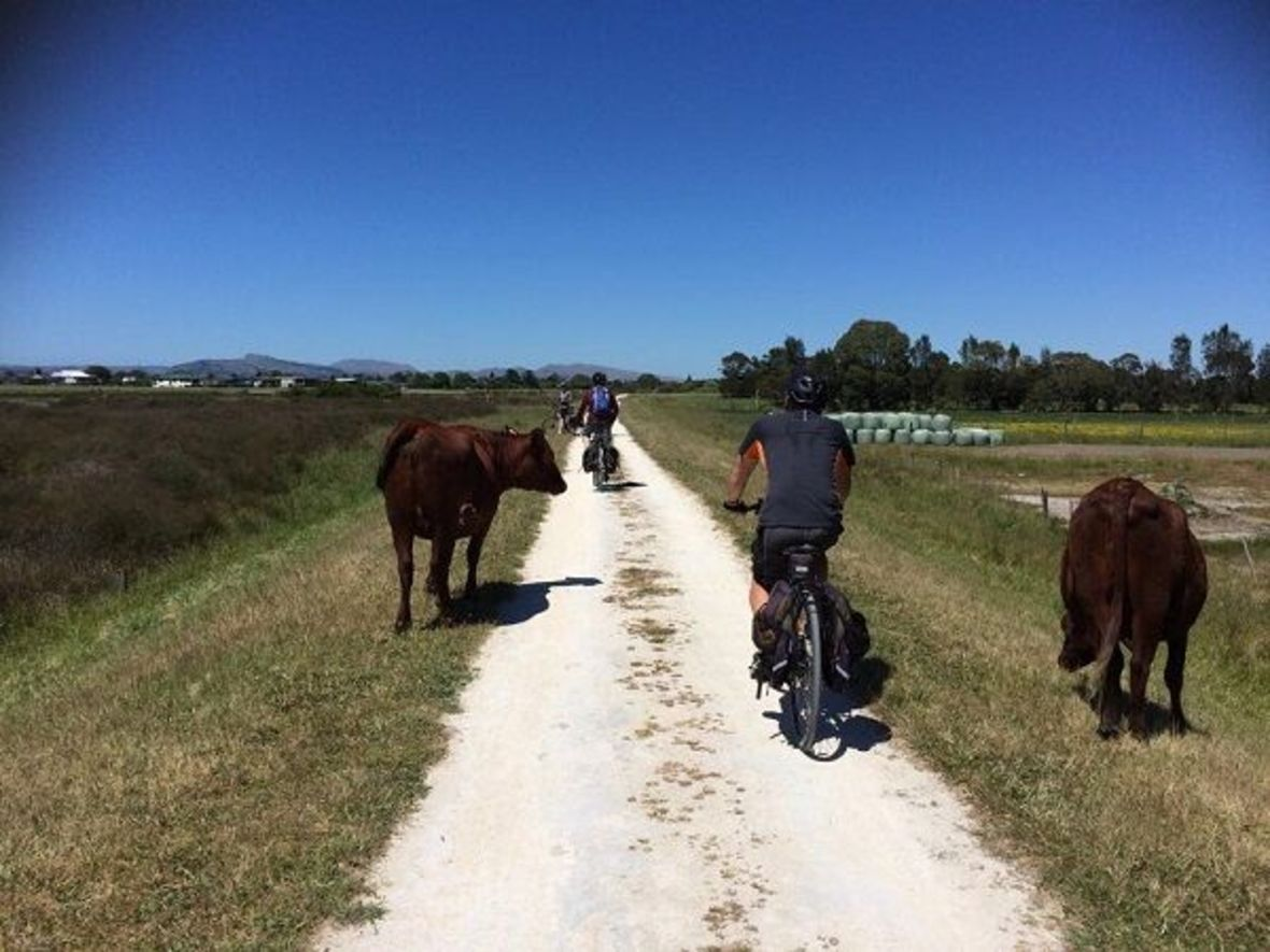 Cycling with cows on path