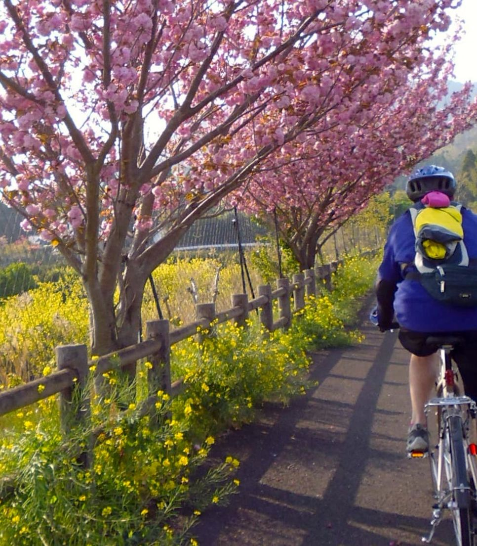 When in season, ride past the revered Sakura blossoms