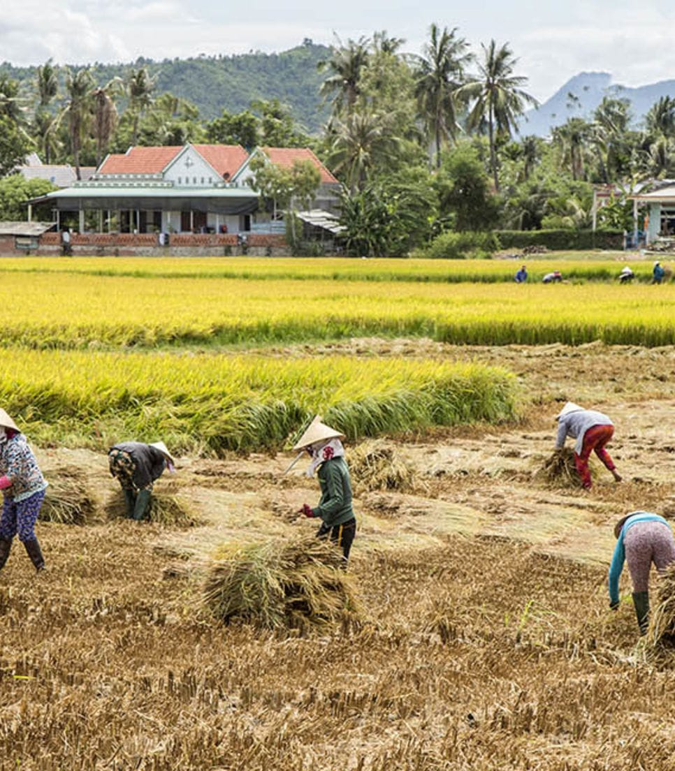 Cycle through picturesque rice fields and see how the Vietnamese food staple is grown