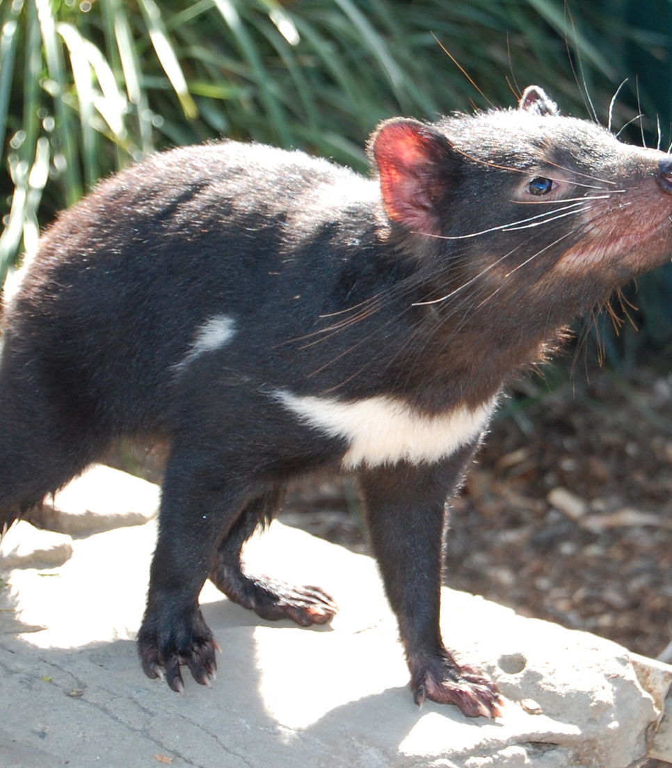 Grab the opportunity to visit the iconic Tasmanian Devil on day 5