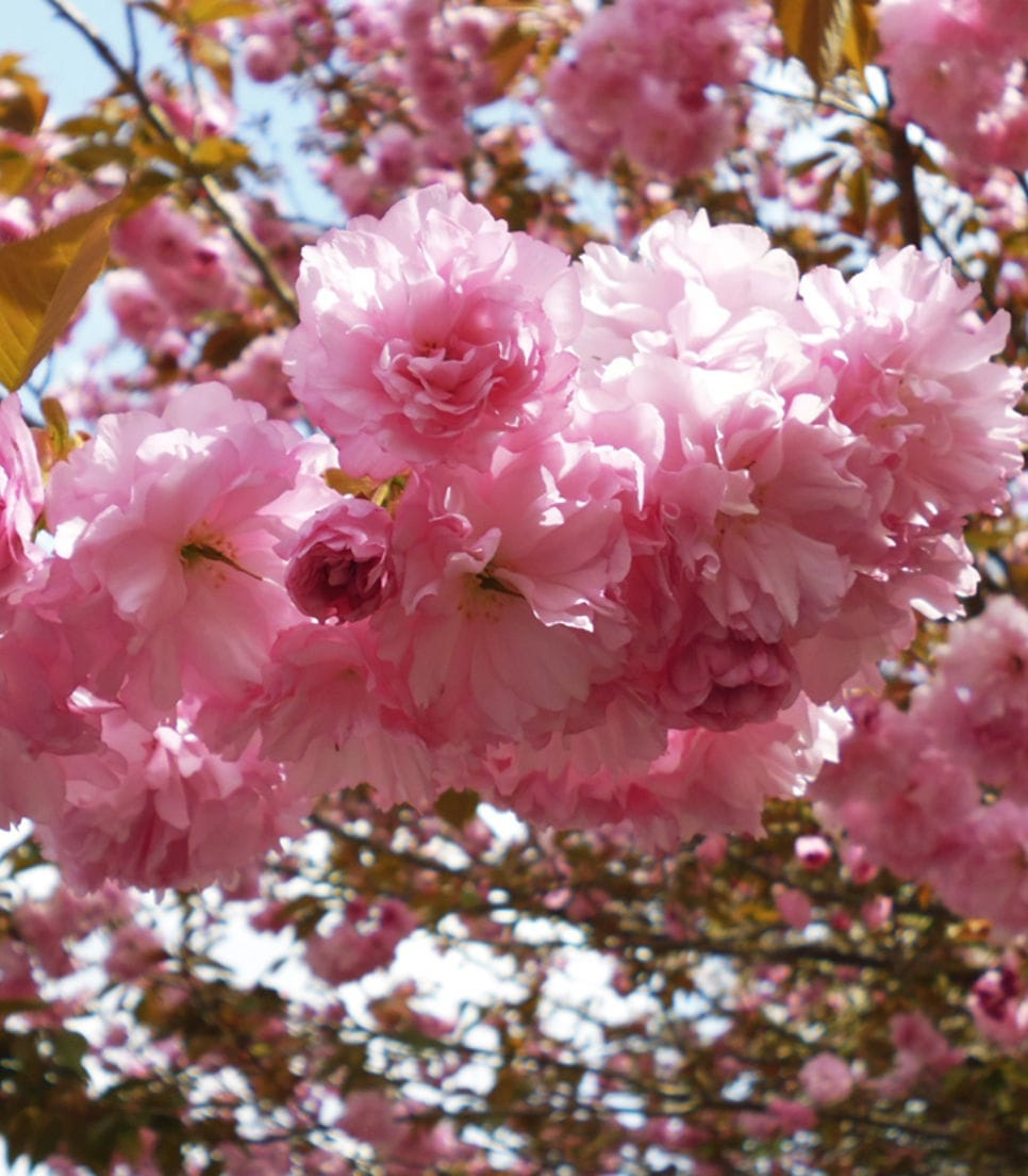 If in season, relish the annual blooming of these quintessential flowers