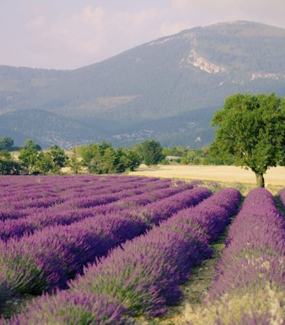The lovely quintessential lavender fields of Provence