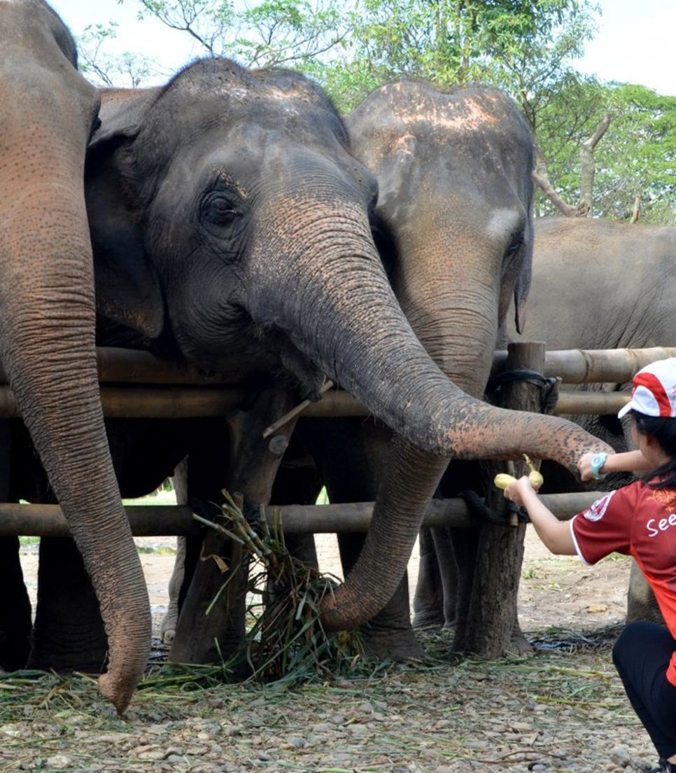 Elephants are intelligent, gentle, and friendly. Share your fruit with one whn you visit the sanctuary
