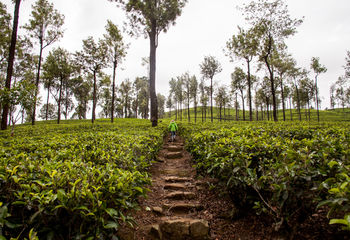 Cycling Sikkim's Tea Trails