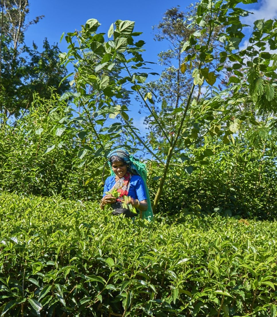 Visit a tea factory and learn about the process from picking to packing the leaves