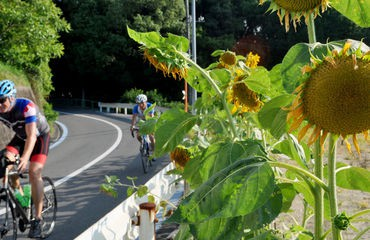 Cyclists on road with sunflower plant in foreground
